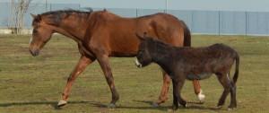 cavallo asino